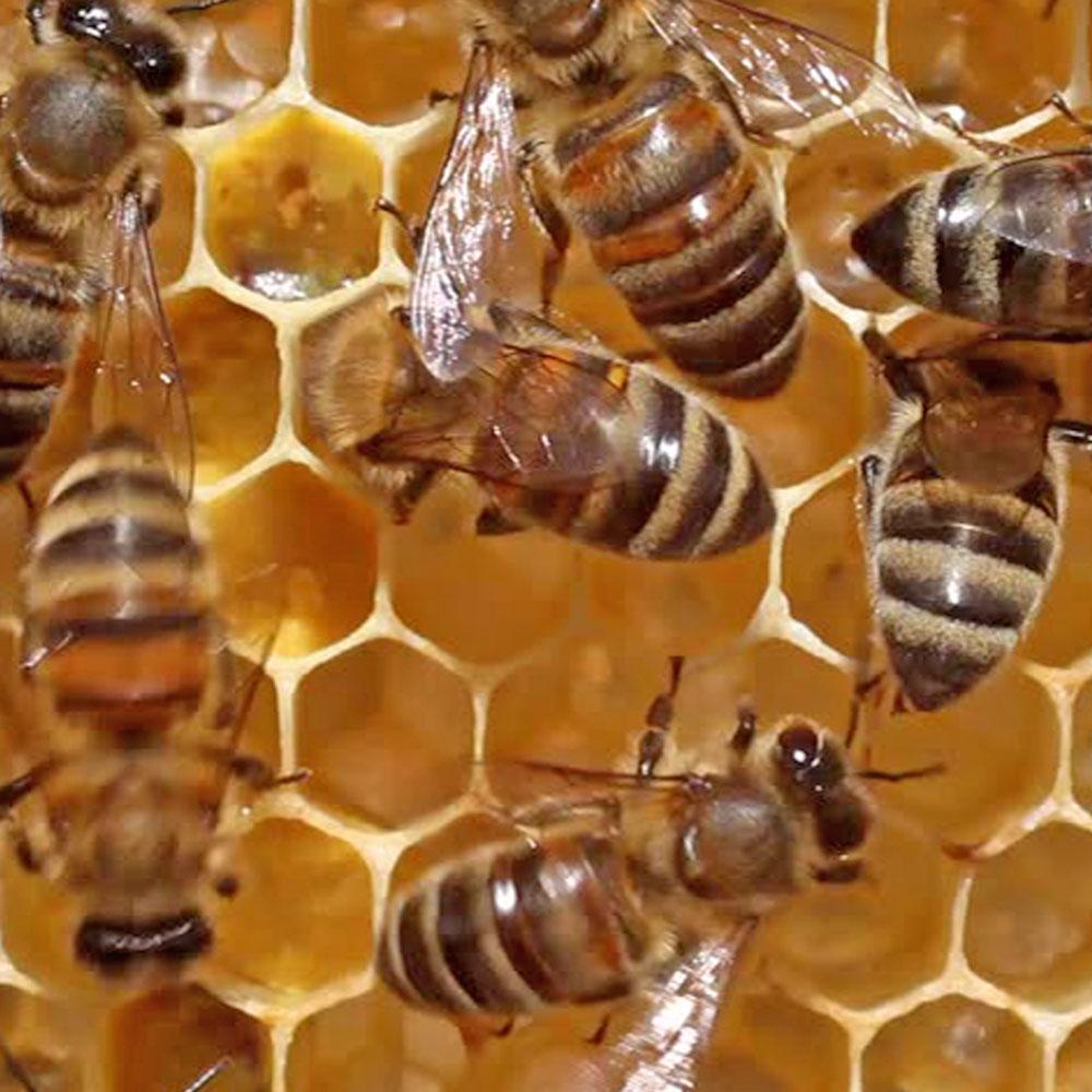 μέλισσες στην κερήθρα