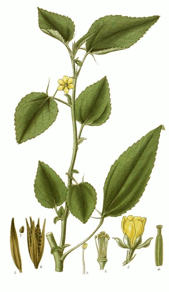 Το φυτό από το οποίο παράγεται η γιούτα