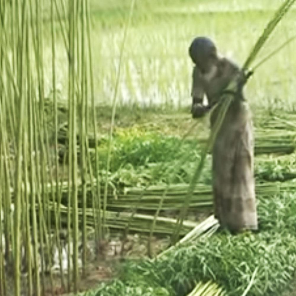 καλλιέργεια γιούτας
