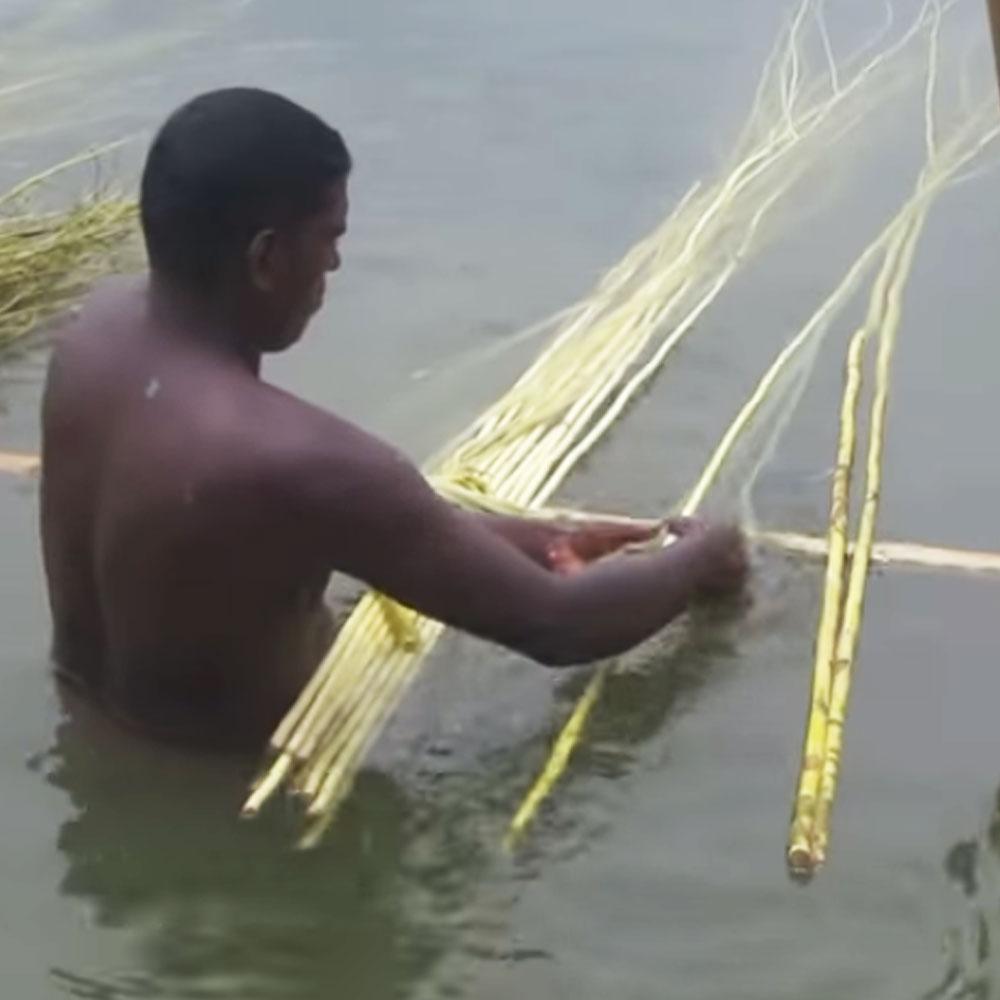καθαρισμός βλαστών γιούτας